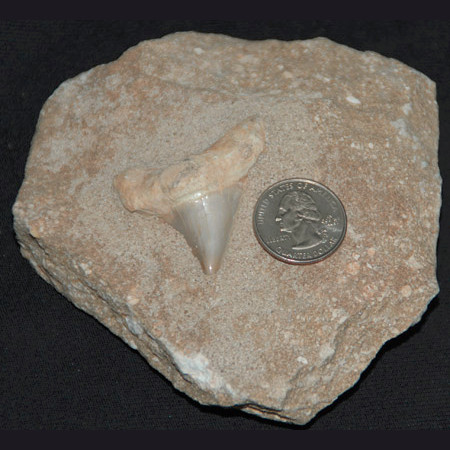 Shark Tooth In Matrix 1037